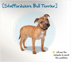 "Did you know that the Staffordshire Bull Terrier arose from the ashes of ""bloodsports"" like bull- and bear-baiting when they were outlawed after the century? Read more about this breed by visiting Petplan pet insurance's Condition Checker! Beautiful Dog Breeds, Beautiful Dogs, Staffordshire Bull Terrier, Bull Terriers, Best Pet Insurance, Different Dogs, Pet Care Tips, Family Dogs"