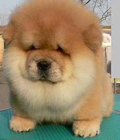 Chow chow otherwise known as a giant teddy bear
