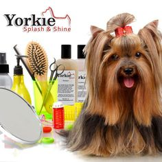 Yorkie Grooming - How to Groom your Yorkshire Terrier