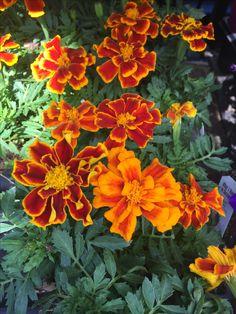 Marigold, Love Flowers, Plants, Plant, Planets