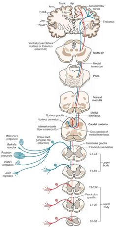 Spinal Segments The spinal cord consists of 31 segments cervical, 12 thoracic, 5 lumbar, 5 sacral, and 1 coccygeal) based on the existence of 31 pairs of spinal nerves. Each segment (except the first cervical and coccygeal segments) receives […] Brain Anatomy, Human Body Anatomy, Medical Anatomy, Human Anatomy And Physiology, Nervous System Parts, Central Nervous System, Brain Science, Medical Science, Life Science