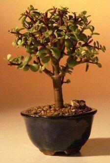 jadebaum portulacaria afra als bonsai baum bonsai. Black Bedroom Furniture Sets. Home Design Ideas