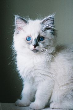 Pretty Kitty, look at those pretty blue eyes