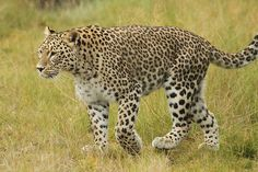 Persian Leopard | Flickr - Photo Sharing!