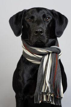 Studio portrait of a black labrador retriever wearing a striped knit scarf Labrador Retrievers, Labrador Retriever Negro, Schwarzer Labrador Retriever, Retriever Dog, Golden Retrievers, Black Lab Puppies, Cute Puppies, Cute Dogs, Dogs And Puppies