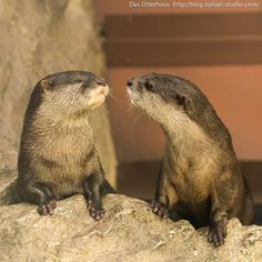 """"""" You talkin' to me? You talkin' to me? You talkin' to me? Then who the hell else are you talking. Oh yeah? Otters Cute, Baby Otters, River Otter, Sea Otter, Tiger Cubs, Tiger Tiger, Bengal Tiger, Otter Love, Cute Little Animals"""
