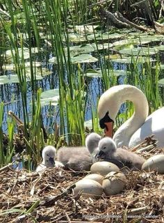 Lovely Swan in her nest with eggs and hatched cygnets Pretty Birds, Beautiful Birds, Animals Beautiful, Animals And Pets, Baby Animals, Cute Animals, Cygnus Olor, All Birds, Tier Fotos