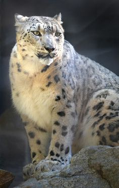 Snow and sun | Flickr - Photo Sharing! Snow Leopard