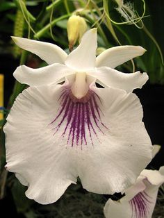 Orchid: Cochleanthes amazonica - Flickr - Photo Sharing!