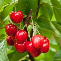 How to Grow Your Own Delicious Cherries, wonderful read from growveg.com….
