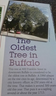 The oldest tree in Buffalo