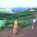 The dogs looking over the tea at PT Harendong Green Farm