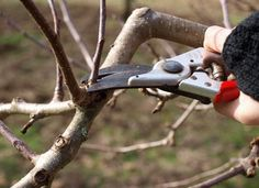 better production, prettier blossoms and a longer life for your fruit trees? Learn how to prune them with our beginner's guide to pruning fruit trees!Want better production, prettier blossoms and a longer life for your fruit trees? Learn how to prune them Prune Fruit, Pruning Fruit Trees, Tree Pruning, Pruning Plants, Pruning Tools, Fruit Garden, Garden Trees, Edible Garden, Compost