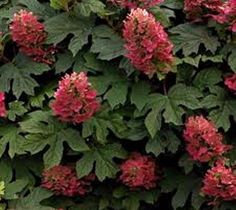 Amazon.com: Ruby Slippers Pink Oakleaf Hydrangea Plants ( Quarts ): Home & Kitchen