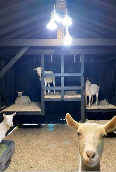 New bunk bed idea! Def doing this design! Cattle Farming, Goat Farming, Livestock, Goat Shelter, Animal Shelter, Goat Playground, Farm Animals, Cute Animals, Goat Pen