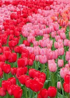 Pin by danielle d on greetings from holland pinterest red anna maloverjan greeting card featuring the photograph flower beds of multicolored tulips by anna maloverjan m4hsunfo