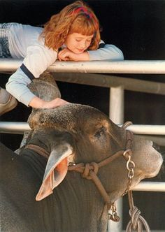 A girl pets the livestock at the San Antonio Stock Show & Rodeo in 1991. Photo: San Antonio Express-News File Photo