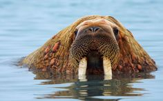 A walrus pokes his head out of the freezing waters off the coast of Svalbard, Norway Picture: VADIM BALAKIN/ CATERS NEWS