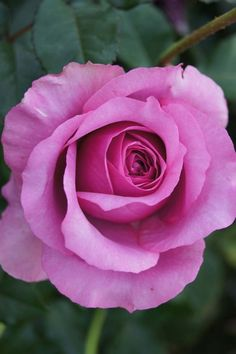 Purple Fragrancia | Ludwigs Roses : The name says it all. The free flowering bush easily grows to chest and even shoulder height; it is clothed with glossy foliage and keeps on producing the huge, super fragrant blooms.