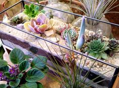 succulents in sand terrarium-do you see the cast iron army man?
