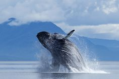 Humpback whale breaches in Stephens Passage   Alaska Small Ship Cruises with GeoEx