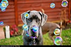 #Great #Dane & Bubbles
