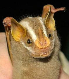 The Great Stripe-faced Bat (Vampyrodes caraccioli) is uncommon but ...