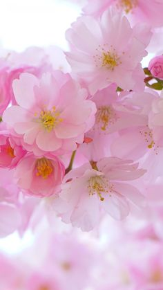 Free Mobile Wallpaper Of Cherry Blossom Beautiful Awesome Flower Wallpaper Free Desktop