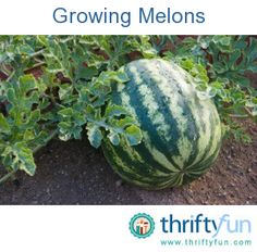 This is a guide about growing melons. Melons are a good inclusion in the home garden.