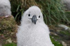 schattige baby albatros - Google zoeken