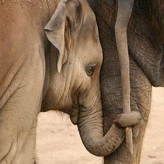 Cute Baby animals are hard to resist, especially to their parents. Check out this adorably cute baby animals that just feel like playing. Beautiful Creatures, Animals Beautiful, Elephas Maximus, Baby Animals, Cute Animals, Wild Animals, Funny Animals, Baby Elefant, Elephants Never Forget