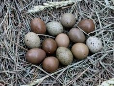 Excellent For Easter, Raising Baby Button Quail For Fun And Profit