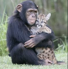 Chimpanzee with baby leopard