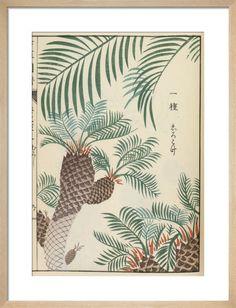 Japanese Sago Palm by Iwasaki Tsunemasa - art print from King & McGaw Framed Art Prints, Poster Prints, Posters, Diy Poster Frame, Japanese Plants, Sago Palm, Oriental Lily, Purple Aesthetic, Affordable Art
