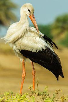 White Stork - ©Ali Alqudsi (via 500px)