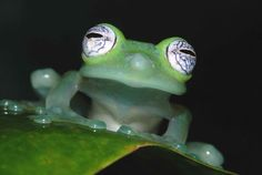 Frog Eye Close Up Glass frog eye closeup Les Reptiles, Reptiles And Amphibians, Mammals, Amazon Rainforest Animals, Rainforest Frog, Frog Wallpaper, Funny Animals, Cute Animals, Tree Frogs