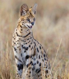One of the best things about the Masai Mara was getting to see some of the smaller predators, like this stunningly relaxed serval we found one afternoon with Wild Eye Grand Chat, Serval Cats, Cat Vs Dog, Cat Jokes, Cats Bus, Rare Animals, Wild Animals, Lovely Creatures, African Animals