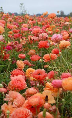 The Flower Fields in Carlsbad / Paula Prass