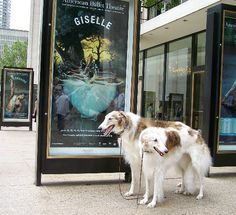 Tahnka & Myka while doing Giselle by Ferlinka Borzoi (Deb West), via Flickr