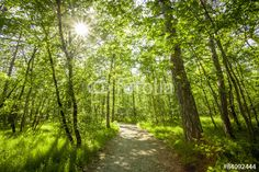Photo: Path in beautiful green forest in summer
