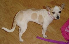 Chihuahua/ West Highland White Terrier F2 hybrid at 10 months old