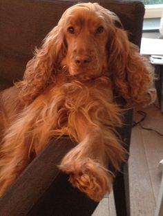 My English Cocker Spaniel girl, 'Boss' Flow