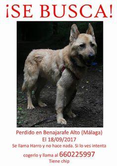 Mascotas perdidas y Encontradas: HARRO, PERRO PERDIDO EL 18/09/17, EN MÁLAGA, ZONA ...