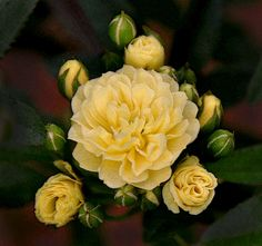 This is Lady Banks aka The Yellow Rose of Texas and I love her! If you have a southern garden this robust, nearly thornless climber is easy and magnificent. I am ready to plant mine. There is a fragrant white Lady too! Romantic Roses, Beautiful Roses, Thornless Roses, Lady Banks Rose, Splendour In The Grass, Coming Up Roses, Climbing Roses, My Secret Garden, English Roses
