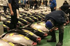 Auction Watching at Toyosu Fish Market with our special guide. This is only a tour of tuna auction. Please kindly make your own tour by combining the various options Title: Auction watching guide alone and Sushi Restaurant recommended PLACE: @Toyosu, Tokyo / 東京都江東区豊洲 Price: 18,750JPY – OVERVIEW: 5:30 am ~ 7:00 am (About 1.5 hours)