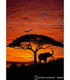 An African elephant relaxes under a tree with the picturesque skies of the African sunset. Take a Safari to the African Serengeti as you relax in front of this spectacular wall mural. African Sunset, Image Nature, Photo Mural, Art Africain, Sunset Wallpaper, Wallpaper Murals, African Elephant, African Safari, African Animals