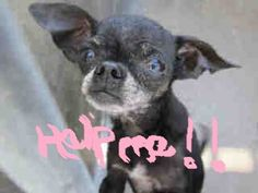 A1244269  UNALTERED FEMALE , BLACK CHIHUAHUA SH MIX, Age: 10 YEARS  Intake Condition: APC  This animal has been at the shelter since 04/18/2013. Review Date: 04/24/2013  OC ANIMAL CARE, 561 The City Drive South, Orange, CA 92868, 714-935-6848 — with Lori Huckins-Hesebeck at OC Animal Care.