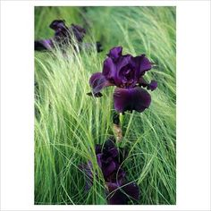 Iris with stipa. Hmm