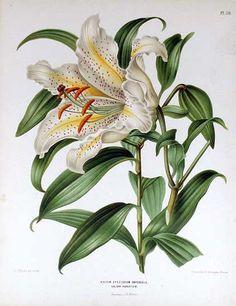 A.J. Wendel (1826-1915) —  Lilium speciosum imperiale. 1876-1879