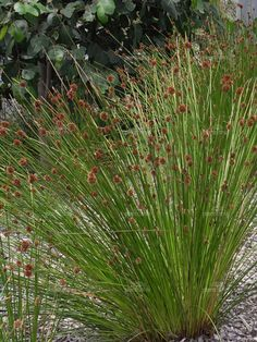 Ficinia nodosa or chondrapetalum tectorum would make a great plant in the modern mediterranean theme. Australian Garden Design, Australian Native Garden, Australian Plants, Seaside Garden, Coastal Gardens, Landscaping Plants, Garden Plants, Small Front Gardens, Drought Tolerant Landscape